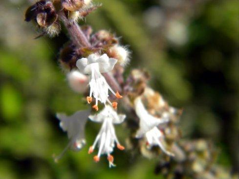 A variety of basil - Ocimum basilicum